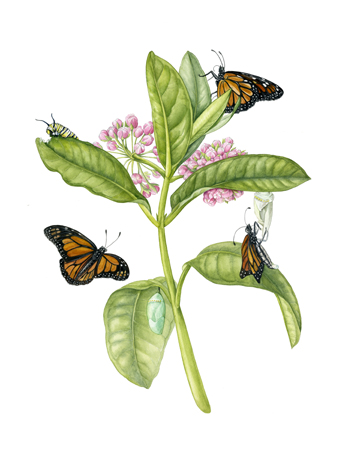 Milkweed & Monarch Butterfly