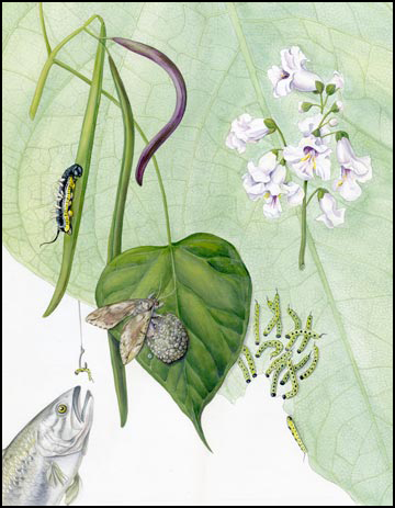 Catalpa Moth & Catalpa Tree