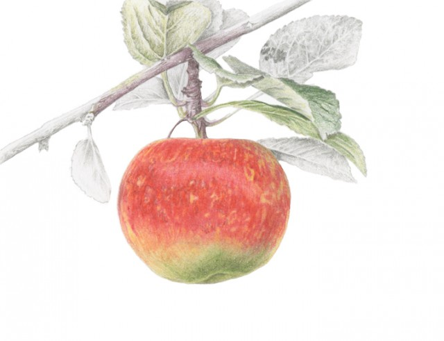 Apple - George Carpenter